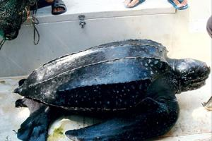 广东汕头达濠渔民捕获巨型大水怪 十位壮汉才挪动它