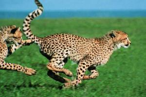 猎豹是世界上短跑速度最快的动物