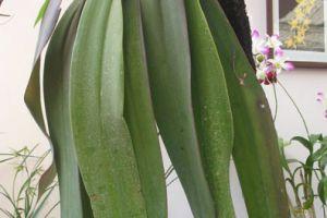 植物世界之最:世界上最长的叶子亚马逊棕桐有24.7米【组图】