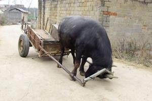 农村老人养了一头神奇的牛,它拉车的技能,村民个个都夸赞