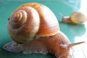 牙齿最多的动物-蜗牛