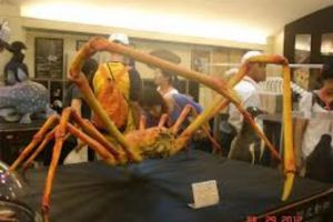 世界上最大的蟹-日本大螃蟹