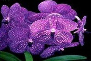 新加坡的国花
