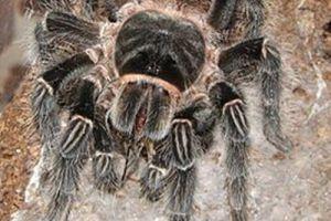 食鸟蛛 世界最重的蜘蛛