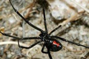 世界上最毒的蜘蛛-黑寡妇