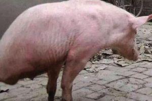 农村老汉养了一只天生残疾猪,现在行动自如,现实版猪坚强