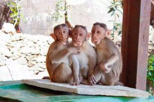 印度毒贩利用芒果藏毒,半路却被猴子吃光水果