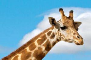 长颈鹿为啥有斑纹,有啥作用,研究称:遗传的结果,与存活率有关