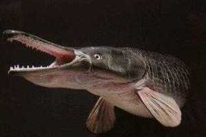 淡水鱼类的梦魇猎手:卵有剧毒,边吃边排便,每天进食几十斤鱼类