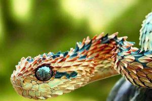 奇闻异事:蛇界中的铁浮屠?要论颜值,此类蛇难逢对手!