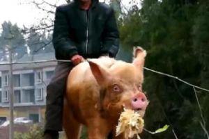 """那个看不上小车,却将猪驯养成坐骑""""骑猪大爷"""",如今怎样了?"""
